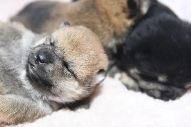 生後15日目の柴犬の子犬たちの写真