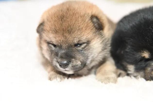 生後22日目の柴犬の子犬たちの写真