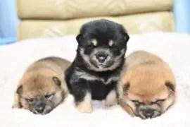 販売中の柴犬の子犬の写真