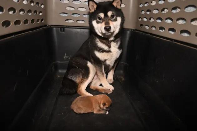 生後3日目の柴犬の子犬の写真