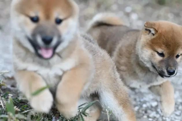 生後51日目の柴犬の子犬たちの写真
