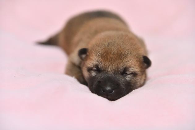 生後11日目の柴犬の子犬たち