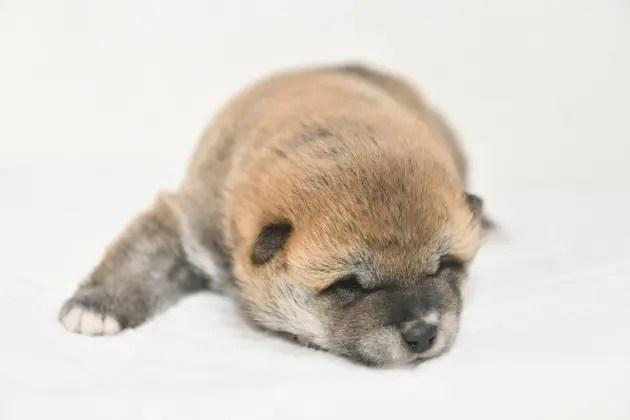 生後15日目の柴犬の子犬の写真