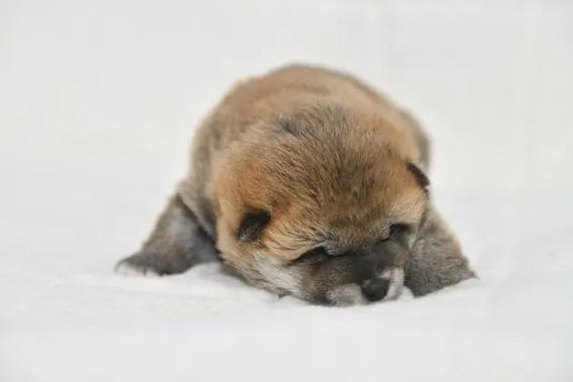 生後19日目の柴犬オスの子犬の写真