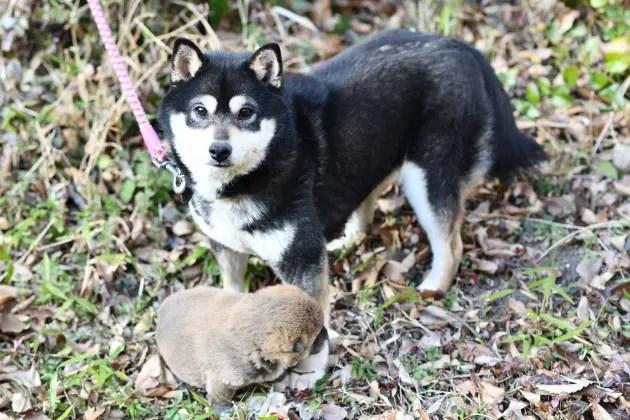 生後23日目の柴犬の子犬の写真