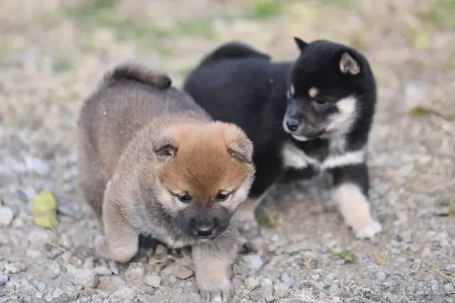 生後32日目の柴犬の子犬たち