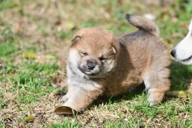 生後23日目の柴犬の子犬
