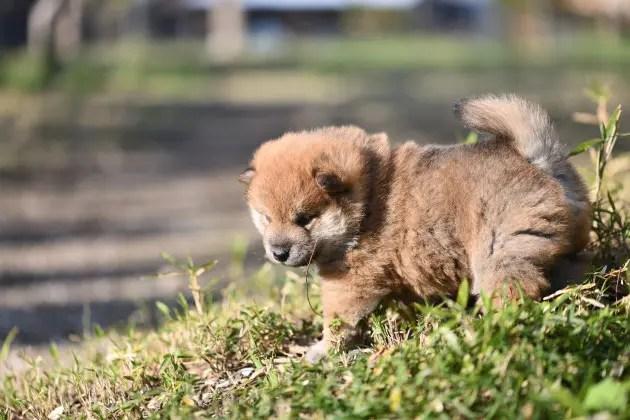 生後24日目の柴犬の子犬