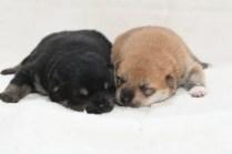 生後10日目の柴犬の子犬