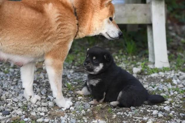 生後25日目の柴犬の子犬です。