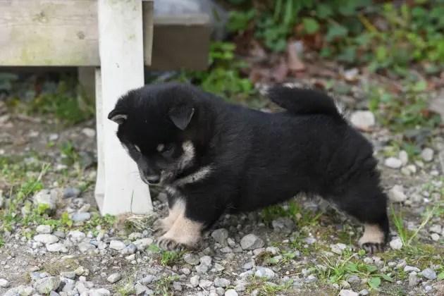 生後34日目の柴犬の子犬の写真