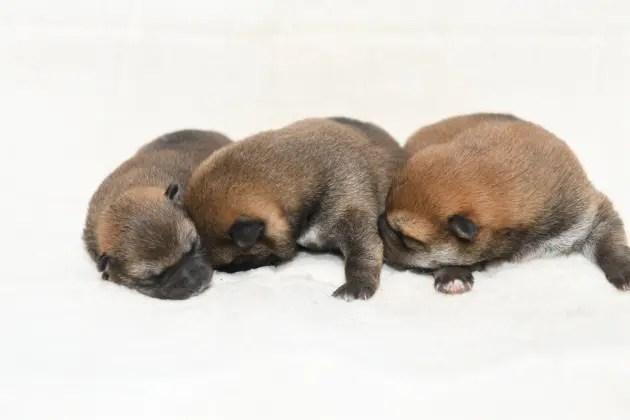 生後6日目の柴犬の子犬たちの写真
