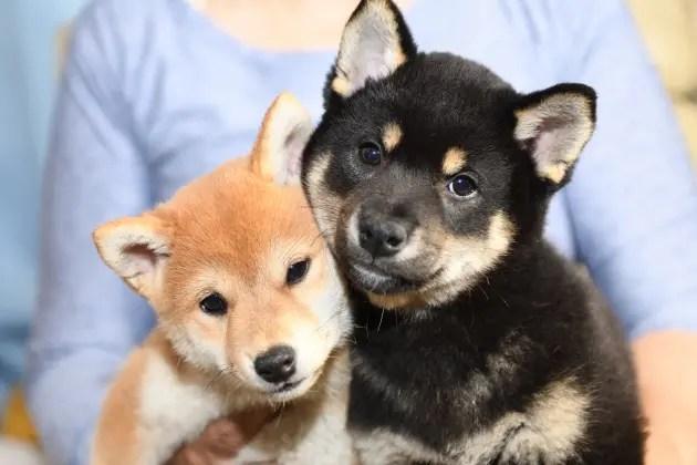 黒柴太郎君と赤柴さきちゃん兄妹の写真