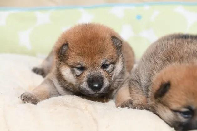 生後16日目の柴犬の子犬の写真です。