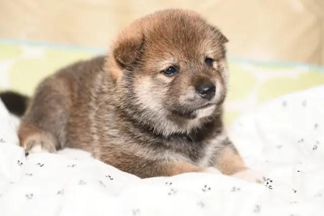 生後25日の柴犬の子犬の写真