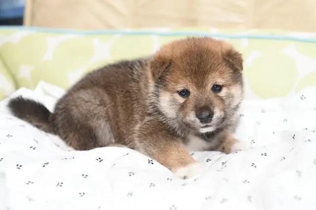 生後27日の柴犬の子犬の写真