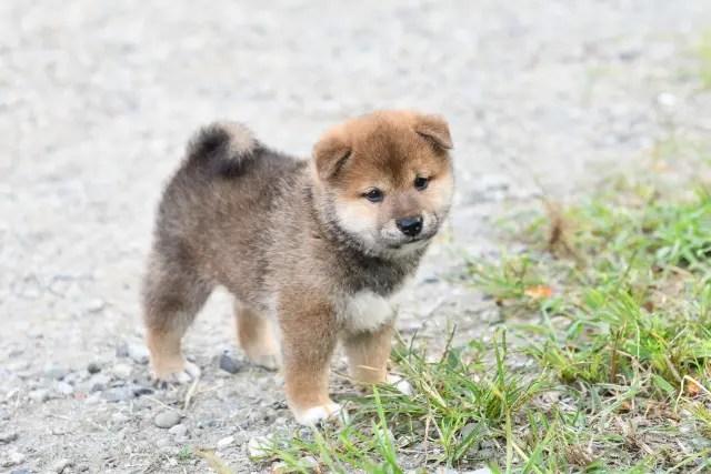 生後36日目の柴犬オスの子犬の写真