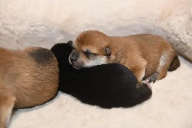 生後4日目の柴犬の子犬の写真