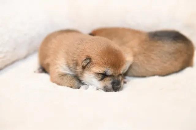 生後5日目の柴犬の子犬の写真