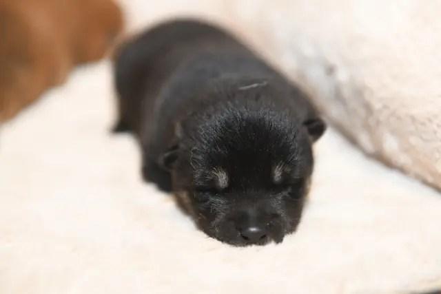 生後6日目の柴犬の子犬の写真