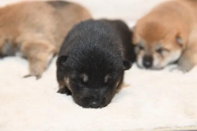 生後14日目の柴犬の子犬たちの写真
