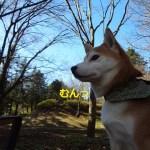 昭和記念公園でたそがれる柴犬まるがなまら可愛い!寒い日はホットミルクティーを飲みながら休憩