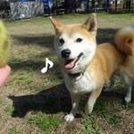 昭和記念公園は花見をする人で平日でも混雑!?人混みを避けてひっそりドッグランで遊ぶ柴犬まる
