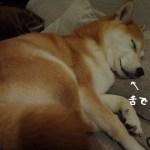 柴犬まるの舌をしまい忘れて寝ている姿が可愛すぎてやばすぎてやば可愛い