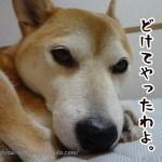 人間の枕で寝たいのに邪魔されて怒る柴犬まる動画