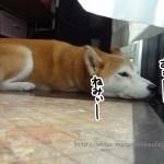 【柴犬動画】柴犬まるの鼻が邪魔で窓が閉められない
