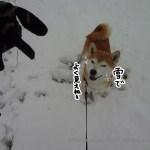 東京立川に雪が積もったので昭和記念公園に柴犬まると行ってきた!
