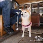 柴犬まると立川のスポーツバー『スタカフェ』でランチをして来ました!