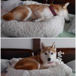 柴犬まると「西伊豆岩地温泉ブラッキーハウスなかじま」に泊まってきました!