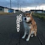 柴犬太郎は散歩中毎回座り込みをしちゃう気分屋さん!