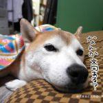 犬用ベッドがふわふわすぎて問題が発生している件について