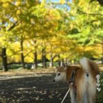 柴犬まるさんのために昭和記念公園年間パスポートの更新をしてきました〜!