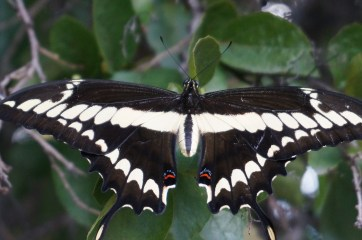 A beautiful butterfly found at the garden. Photo by Guo Jiang.