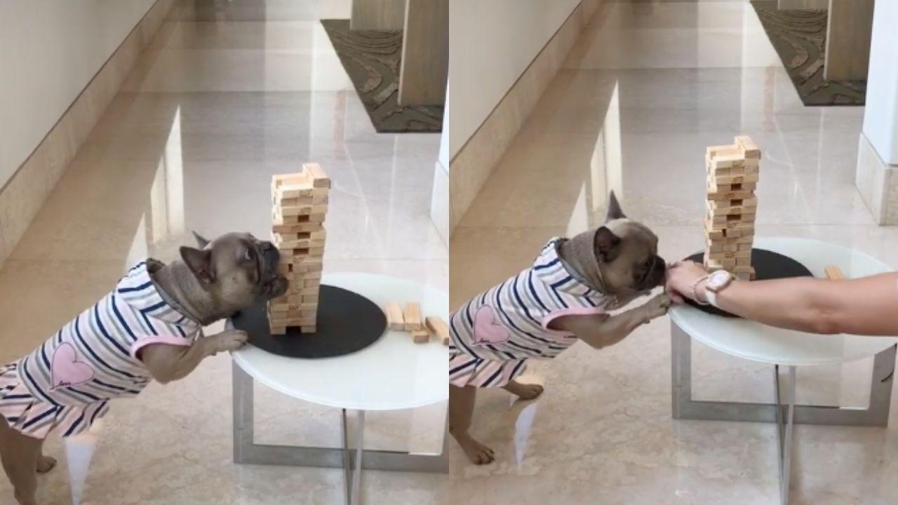 Yeni TikTok cümbüşü: Jenga oynayan köpek! 1