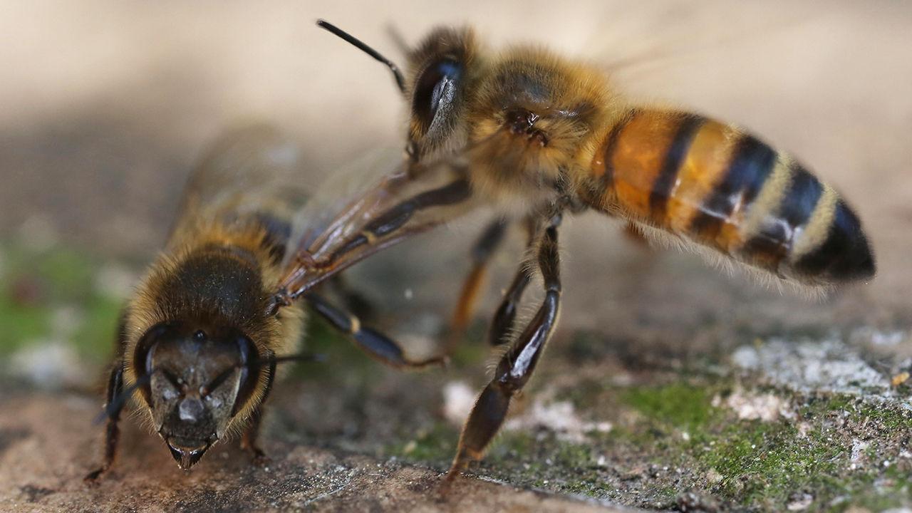 arılar koronavirüsü tespit etti