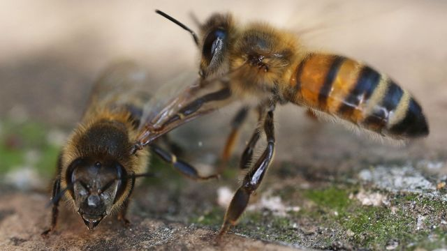 Interesting education for bees: they detected coronavirus
