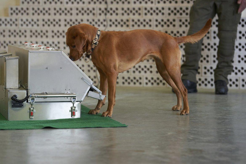 köpekler koronavirüs tespit etti