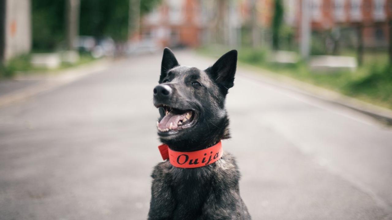 Köpekler, COVID-19 hastalığını yüzde 90'ın üzerinde doğru tespit ediyor.