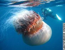 Giant jellyfish with diver