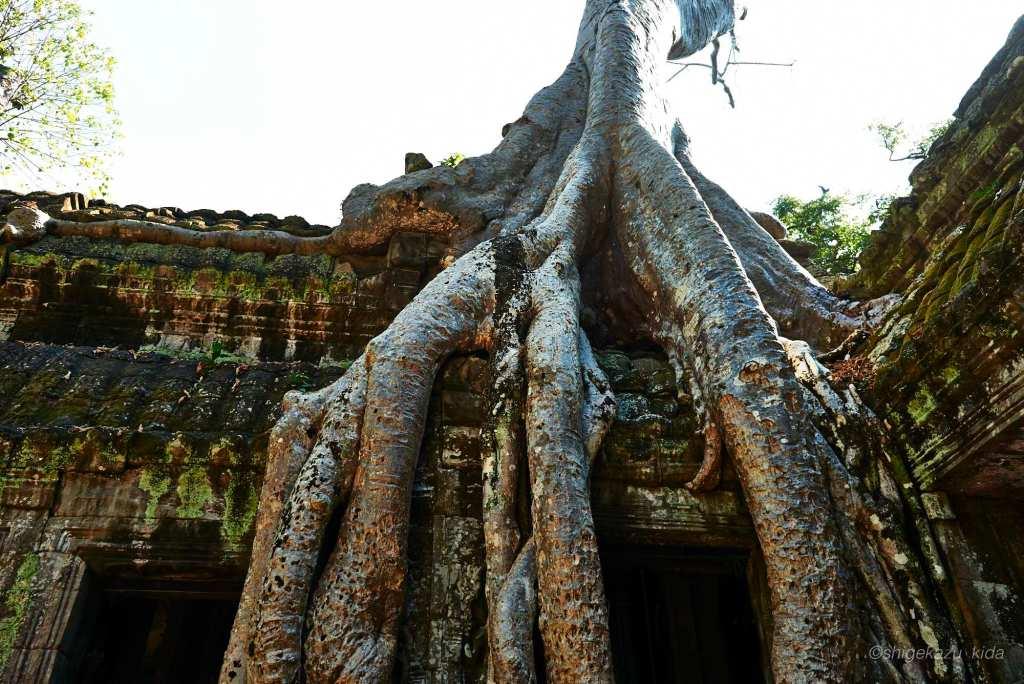 Angkor(アンコール)遺跡群にあるTaProhm(タ・プローム)の東門に絡みつくスポアンの木の根
