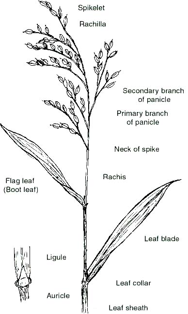 Education Organs Of Rice Panicle