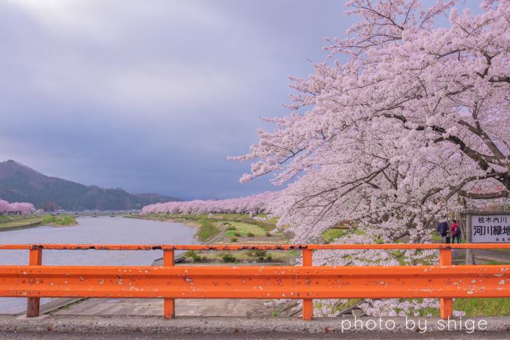 桧木内川と角館桜まつり