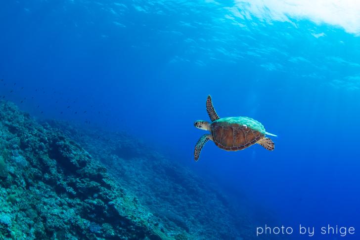 与論島のウミガメ