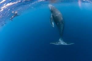 ザトウクジラの子ども
