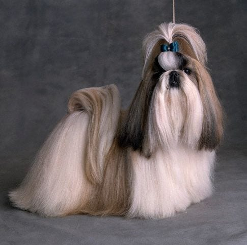 Shih Tzu Haircuts Top 6 Beautiful Shih Tzu Haircuts