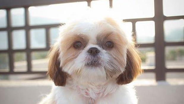 Shih Tzu Haircuts Top 6 Beautiful Shih Tzu Haircuts